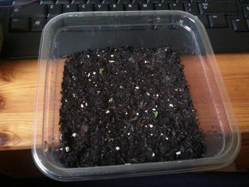 Emergence of the Pineapple Seedlings (Zoom Out) 15 June 2014