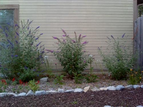 Beautiful Why are my Butterfly Bushes different sizes? IT11