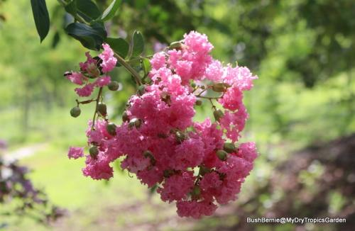Lagerstroemia indica, or Crepe Myrtle
