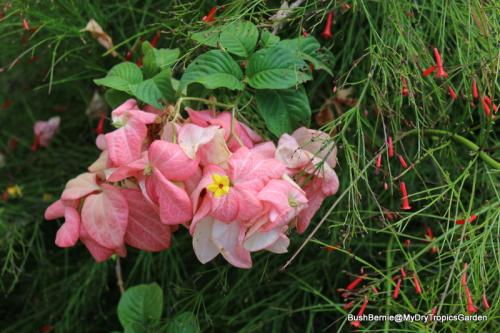 Mussaenda philippica 'Bangkok Rose'