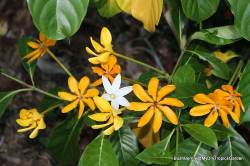 Gardenia 'Soleil d'or'
