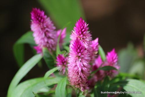 self-seeded Celosia