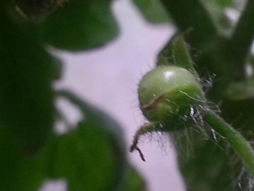 First Cherry Tomato Fruiting as of 16 October 2015