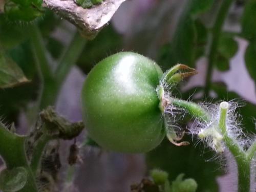 Developing Cherry Tomato in the Aerogarden of Hope