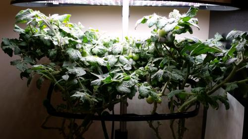 Aerogarden Tomatoes Full Shot