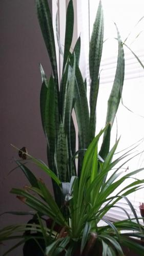 Spider Plant and Snake Plant during Jonas