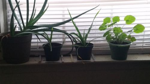 Pelargonium, Pineapples, and Aloe Vera on the windowsill during Jonas