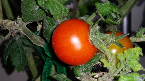 Second Tomato Harvested on the vine