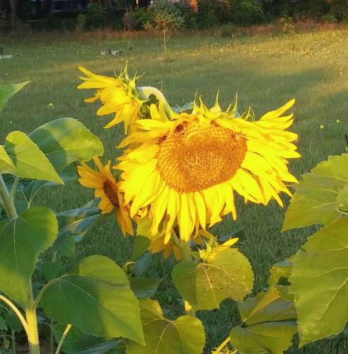 Sunflower Journal, Saturday 5/14/16, Week 13