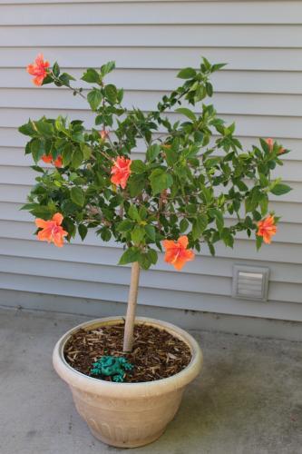 Hibiscus tree...