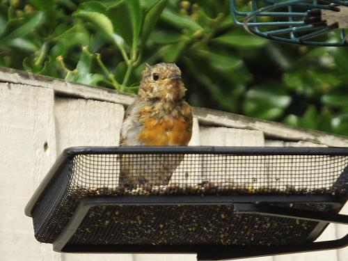 This years robin chick having first moult to show his red breast