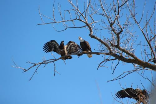 Three eagles in the tree...