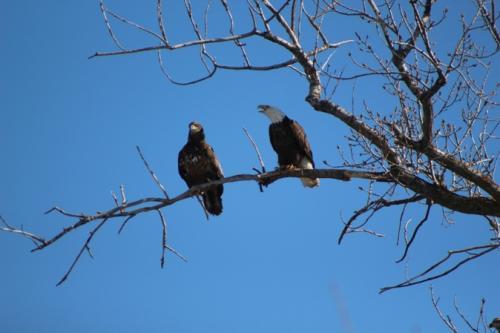 Adult & juvenile eagles...