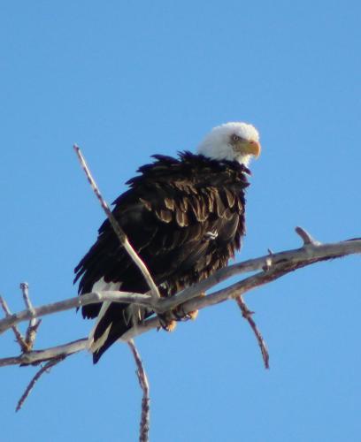 Adult Bald Eagle...