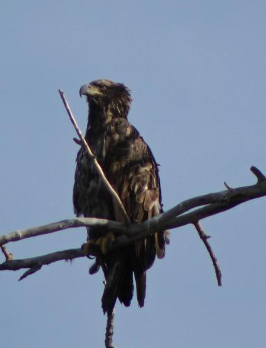 Juvenile Eagle...waiting for his white feathers on his head...