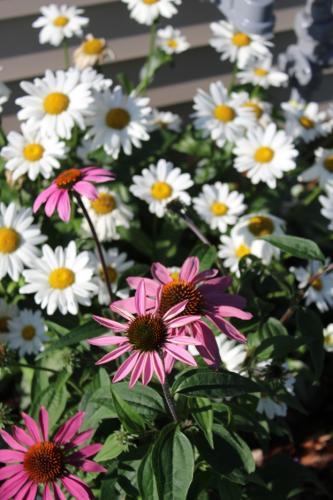 Coneflower & daisys...