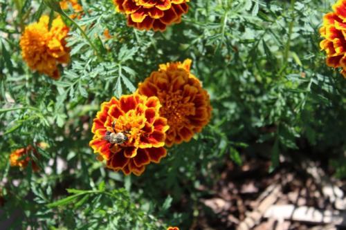 Marigolds...