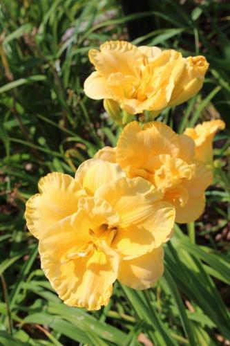 Brookwood Vallie Sharp daylily...